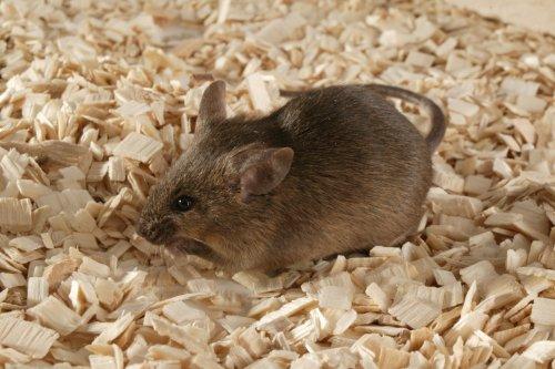 AG129 Mice