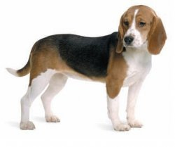 Marshall Beagle